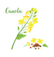 canola isolated on white vector image vector image