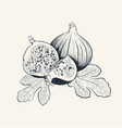 fig fruit hand drawn with leafs vector image vector image