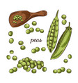 peas hand drawn sketch on white background vector image