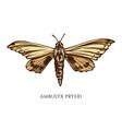 set hand drawn colored ambulyx pryeri vector image