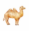 hand drawn of camel on white background vector image vector image