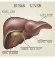 the human liver anatomy vector image vector image