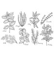 hand drawn organic healing herbs and condiment set vector image