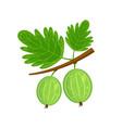 green gooseberry brunch vector image vector image