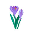 crocus with gentle purple petals and green leaves vector image