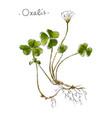 wild plant oxalis hand drawn in color vector image vector image