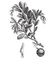 Cowberry vintage engraving