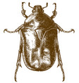 engraving drawing of flower chafers vector image vector image