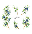 watercolor set plants juniper isolated on white vector image