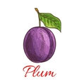 Sketched plum fruit for food and juice design vector image