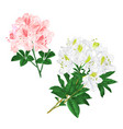 branches light pink and white flowers vector image vector image