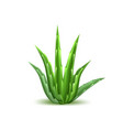 aloe vera realistic plant skincare cosmetic vector image
