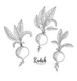 radish hand drawn isolated vector image vector image