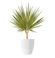 Dracaena palm with pot