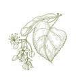 monochrome drawing linden leaves and beautiful vector image