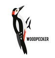 great spotted woodpecker winter bird in a flat vector image vector image