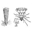 Jellyfish vintage engraving vector image