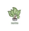 calathea houseplant on pot vector image