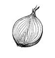 ink sketch onion vector image