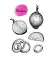 ink sketch of onion vector image
