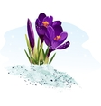 purple crocus on a blue background vector image vector image