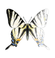 Butterfly Iphiclides Podalirium vector image vector image