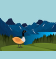 canadian landscape with duck scene vector image
