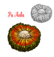 exotic hala fruit sketch with orange husk vector image vector image