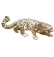engraving of snow leopard vector image