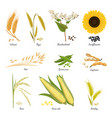 Stems of wheat and rye sunflower and pea food vector image