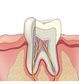tooth structure anatomy of teeth dental medical vector image