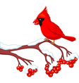 Cartoon beautiful cardinal bird posing vector image vector image