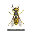 Detailed drawing of wasp on a white background vector image vector image