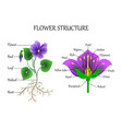 flower structure vector image vector image