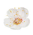 spring flower apple blossoms bloomed isolated on vector image