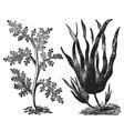 Pepper red algae engraving vector image vector image
