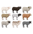 flat set of sheeps and rams of different vector image vector image