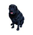serious dog breed black labrador retriever vector image vector image
