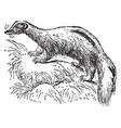 common skunk vintage vector image vector image