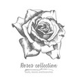 hand drawn sketch of rose single bud detailed vector image