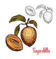 sapodilla sketch fruit exotic icon vector image vector image