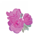 Watercolor Pink Roses vector image vector image