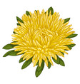 beautiful yellow aster isolated on white vector image vector image