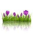 Green grass lawn and violet crocuses with vector image vector image