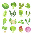 leafy vegetables set agriculture and green plant vector image vector image