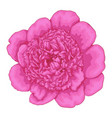 beautiful pink peony isolated on white background vector image vector image