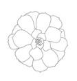 succulent plant echeveria vector image