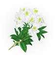 branch white flowers rhododendron mountain shrub vector image vector image