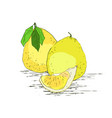 pomelo hand drawn vector image
