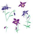 violet and pink flower aquilegia columbine vector image vector image